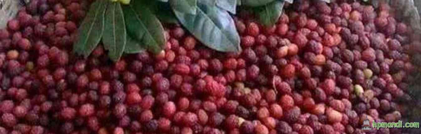 काफल Kafal fruit in Mandi